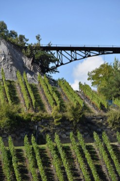 Vines waiting for the harvest to start, Salgesch, Valais 9 September 2015