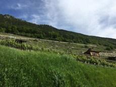 Goron de Bovernier original vines_220516