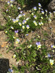 Goron de Bovernier wildflowers3_220516