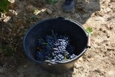 Domaine Charvin, a top organic wine producer near Orange, France: 20 September 2016, the grape harvest