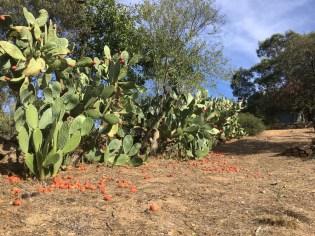 Prickly pears, Sardinia