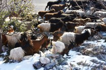 goats and sheep garden4_181117