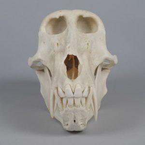 baboon_skull