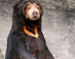sun_bear6