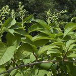 Το φυτό που σκοτώνει τον καρκίνο σε 40 ημέρες! Μας το κρύβουν επειδή είναι τζάμπα;