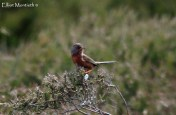 Dartford Warbler (Sylvia undata) - Taken on last years camp