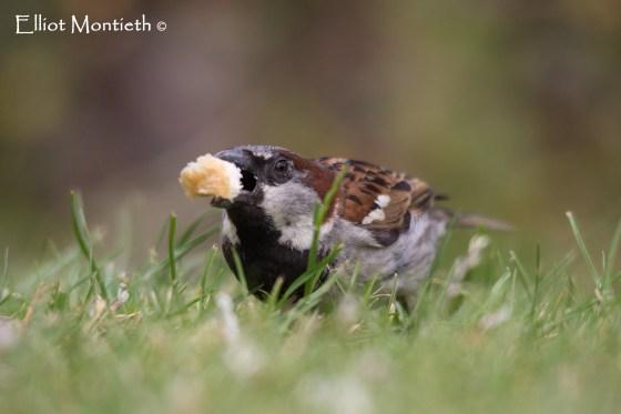 House Sparrow (Passer domesticus) - Birkenhead