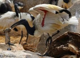 African Sacred Ibis (Threskiornis aethiopicus) - Valcenia