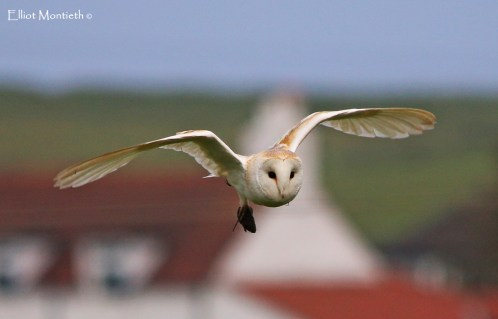 Barn Owl (Tyto alba) - Every so often one of the several pairs in the local farmland find thier way within viewing from the 6 Form block