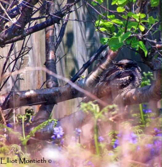 European Nightjar (Caprimulgus europaeus) - Hilbre Island