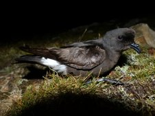George's brilliant shot of a Stormie after it had been ringed and processed