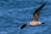 Lesser Black-backed Gull (Larus fuscus) - Bardsey Island, Gwynedd