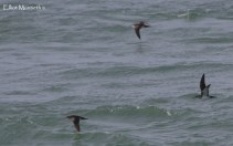 Manx Shearwater's coming in close to shore off the North End