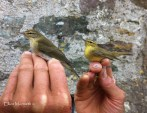 Age comparison between adult & 1st winter Willow Warbler