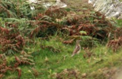 Will Lagdon's record shot of his 1st Wryneck
