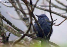 Blue Rock Thrush (Monticola solitarius) - Stow-on-wold, Gloucestshire