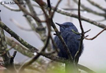 Blue Rock Thrush (Monticola solitarius) - Stow-on-wold, Gloucestshire