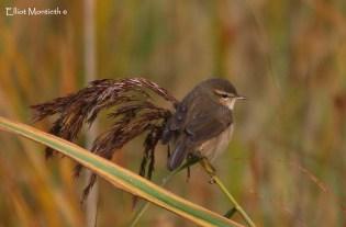 Dusky Warbler. Spurn, East Yorkshire