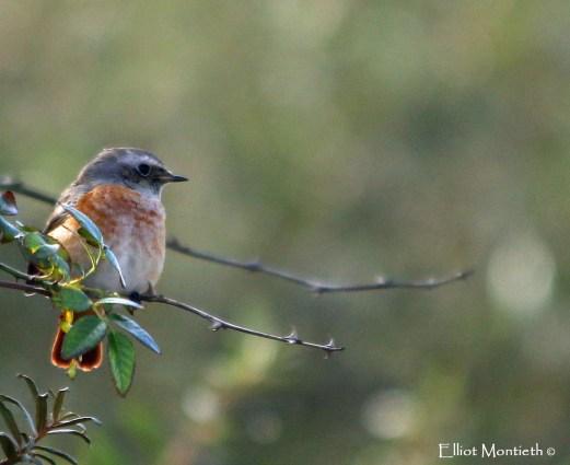 Common Redstart (Phoenicurus phoenicurus) - YWT Spurn