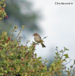 Red-backed Shrike, Meols, Wirral