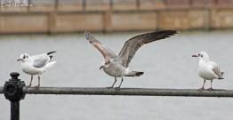 1st winter Laughing Gull (Leucophaeus atricilla) - New Brighton, Wirral