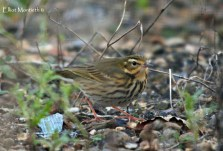 Olive-backed Pipit, Easington, East Yorkshire