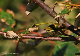 Pallas's Warbler - Flamborough, East Yorkshire