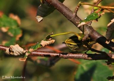Pallas's Warbler - Flamborough, East Yorkshire