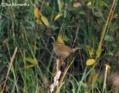 Radde's Warbler (Phylloscopus schwarzi) - YWT Spurn, East Yorkshire