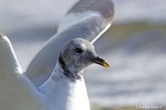 Sabine's Gull (Xema sabini) - Pennington Flash, Gtr Manchester