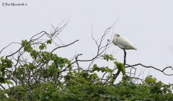 Eurasian Spoonbill (Platalea leucorodia) - RSPB Burton Mere Wetlands, Chehsire