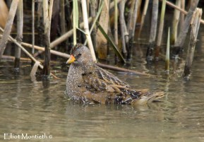 Spotted Crake - RSPB Burton Mere Wetlands, Cheshire