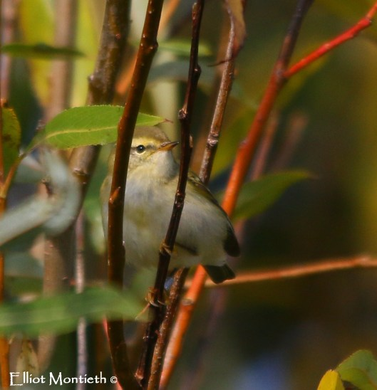 Yellow-browed Warbler, Spurn, East Yorkshire