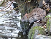 This Brown Rat made a breif appearnce before darting off into the water