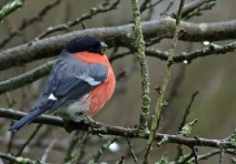 The Bullfinch, sheer beauty
