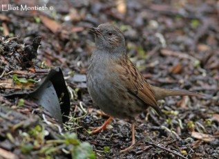 Hedge Accentor