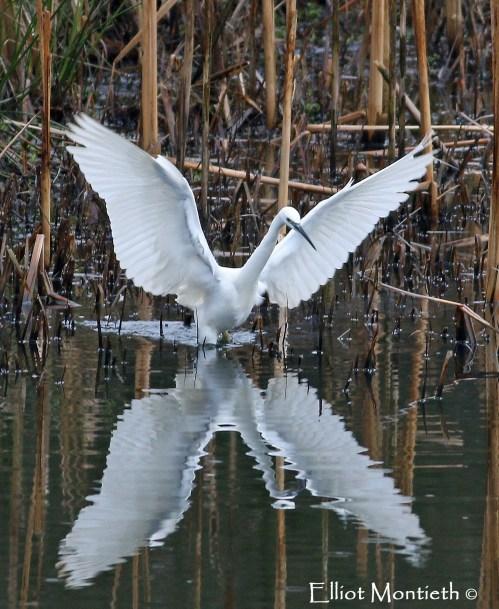 Little Egret (Egretta garzetta) - Pennington Flash, Gtr Manchester