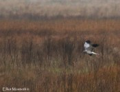 Hen Harrier (Circus cyaneus) - Might not have been a drop dead gorgouse male like this but have been fortunate to have a ring-tail quard the feilds ajacent to the 6 Form Block