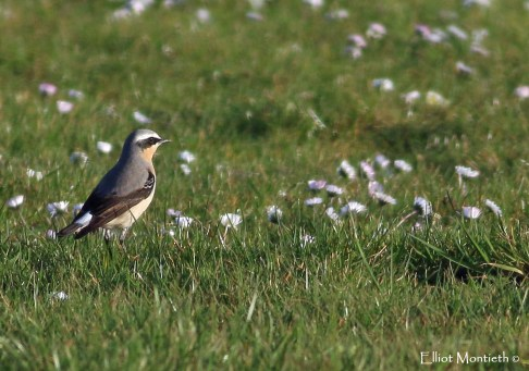 "Northern Wheatear (Oenanthe oenanthe) - My first ""true"" spring migrant of the year at Leasowe Ligthouse"