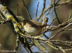Common Chiffchaff (Phylloscopus collybita) 0 By far the most numerous species of Warbler for the Moss