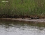 Common Sandpiper (Actitis hypoleucos) - 1 of 3 birds on the marsh that I blieve to be a pair chasing off an intruder