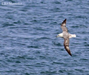 Northern Fulmar (Fulmarus glacialis) - By far the showest species of the trip with every 10mins or so a single bird entering the bay and following the coastline in tight and striaght past me on the far side giving superb photograhic opportunities