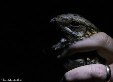 European Nightjar (Caprimulgus europaeus)