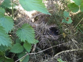 Willow Warbler (Phylloscopus trochilus) A nest that can often be confused with that of its cousin the Common Chiffchaff (Image - Max Hellicar)