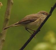 Iberian Chiffchaff (Phylloscopus ibericus) - Dibbinsdale NR, Wirral & Cheshire (Image - Steve Round)