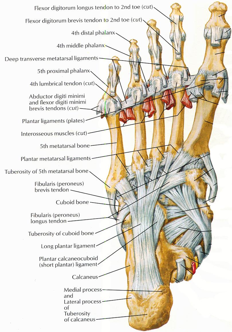 Anatomy of the Ankle - Elliots World