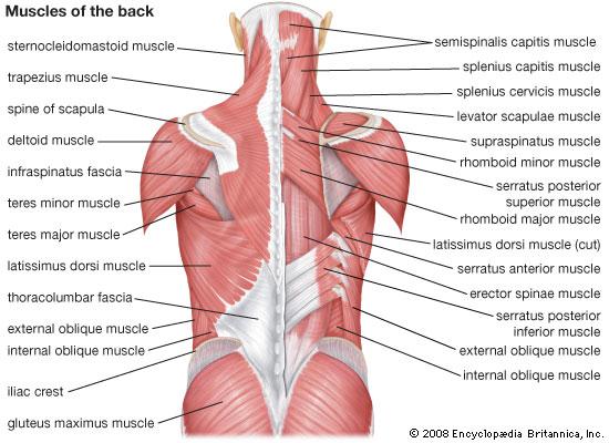 Lumbar Spine Anatomy Diagram Musculature - Block And Schematic ...