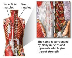 deep thoracic muscles