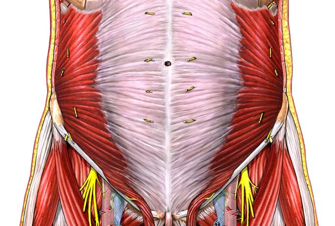 internal_oblique_from_http://fitsweb.uchc.edu/student/selectives/Luzietti/hernia_anatomy.htm