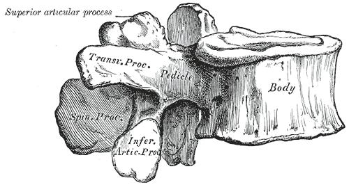 lumbar spine_vertebrae